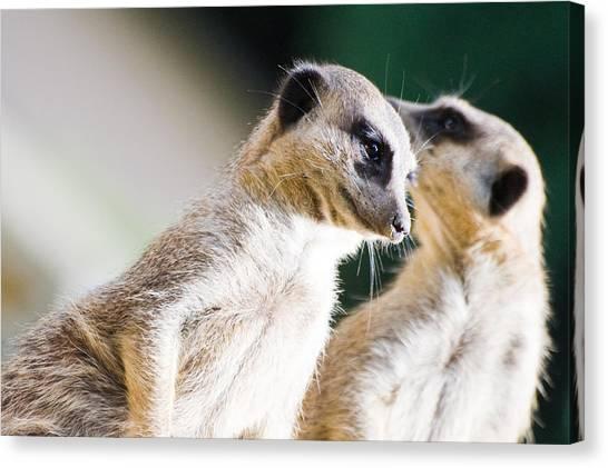 Meerkats Canvas Print - Meerkats by Daniel Kocian