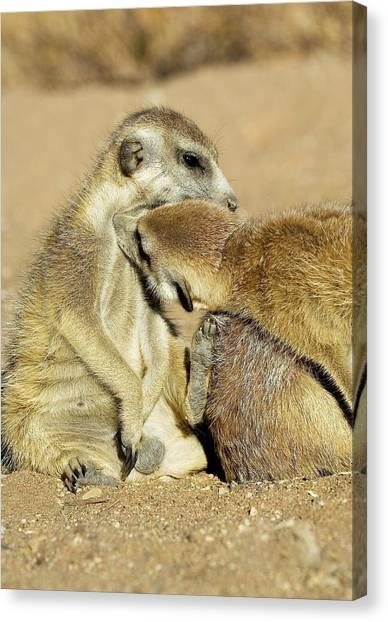 Meerkats Canvas Print - Meerkats Grooming by Tony Camacho/science Photo Library