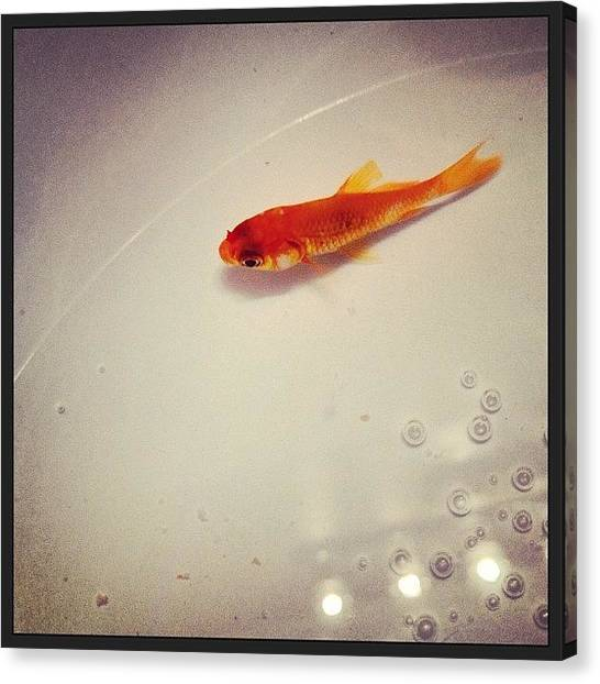 Goldfish Canvas Print - Meet Gilbert.... Not Named After by Kayla Templet
