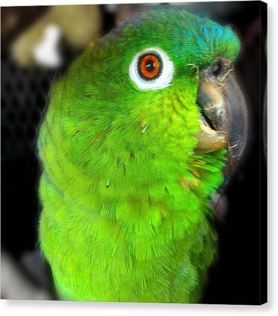 Parrots Canvas Print - Meet My #friend Sherman...she (yes by Debi Tenney