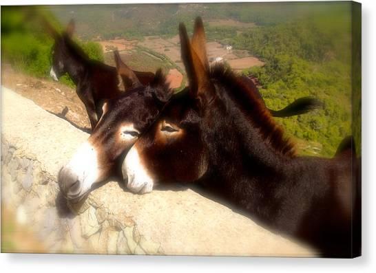 Menorcan Donkeys Canvas Print