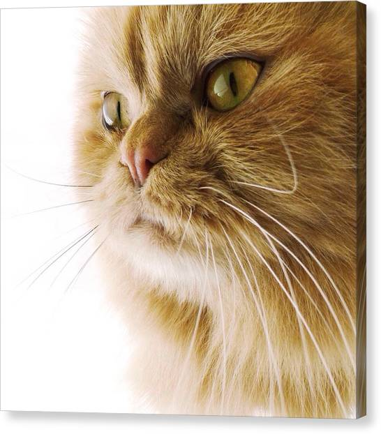 Himalayan Cats Canvas Print - Meow by Natasha Marco
