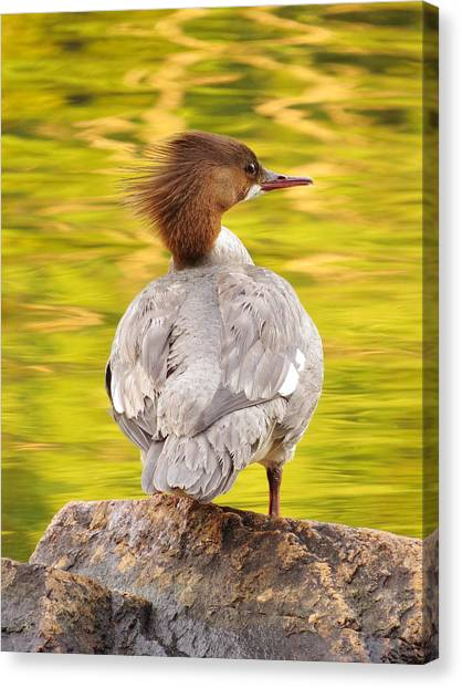 Merganser On Bubble Pond Canvas Print by Acadia Photography