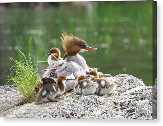 Merganser With Chicks Canvas Print by Acadia Photography