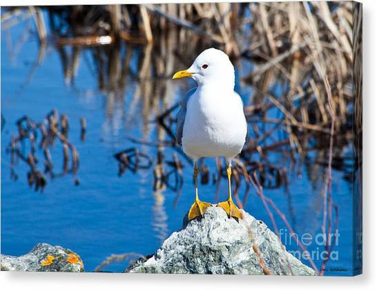 Mew Gull Canvas Print by Chris Heitstuman