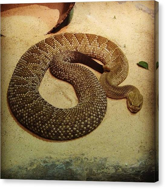 Rattlesnakes Canvas Print - Mexican West Coast Rattlesnake? 🐍 by Eunice De Moraes
