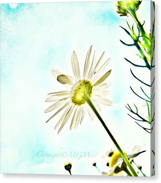 Sky Canvas Print - #mgmarts #daisy #flower #morning by Marianna Mills