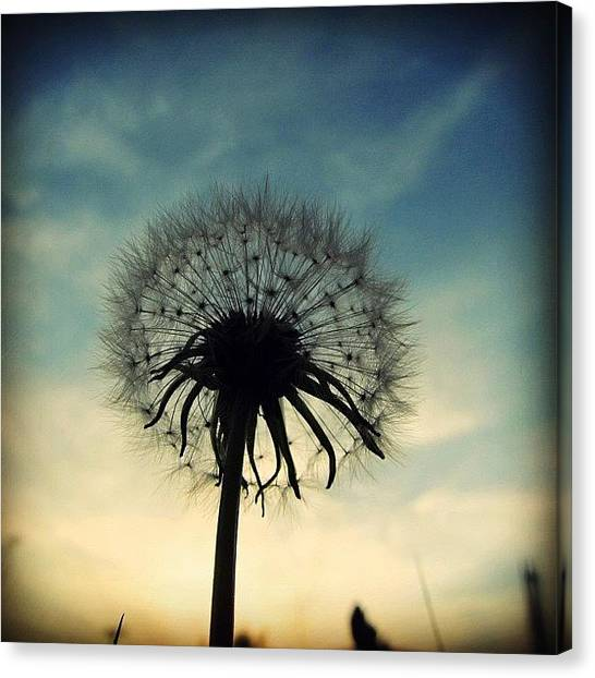 Sunset Canvas Print - #mgmarts #dandelion #weed #sunset #sun by Marianna Mills
