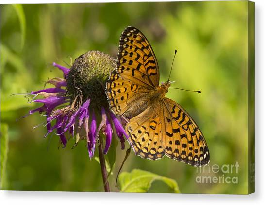 Michigan Fritillary Canvas Print