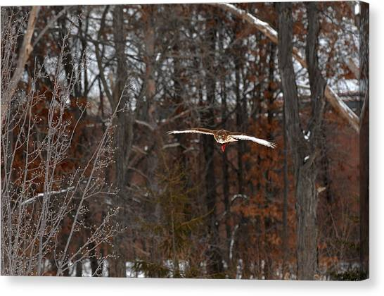Michigan Redtail Hawk Canvas Print
