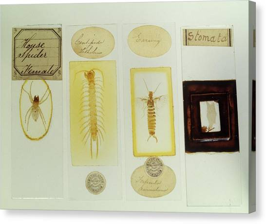 Centipedes Canvas Print - Microscope Slides by Science Photo Library