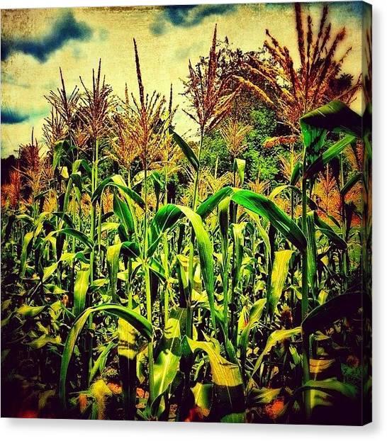 Rural Scenes Canvas Print - Midsummer Cornfield by Paul Cutright