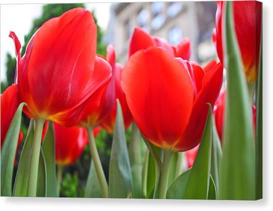 Midtown Tulips Canvas Print by Zev Steinhardt
