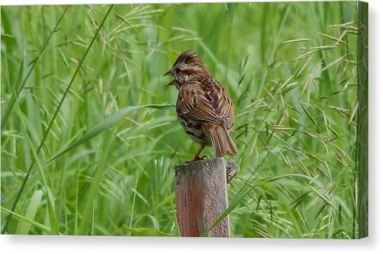 Mighty Sparrow Canvas Print