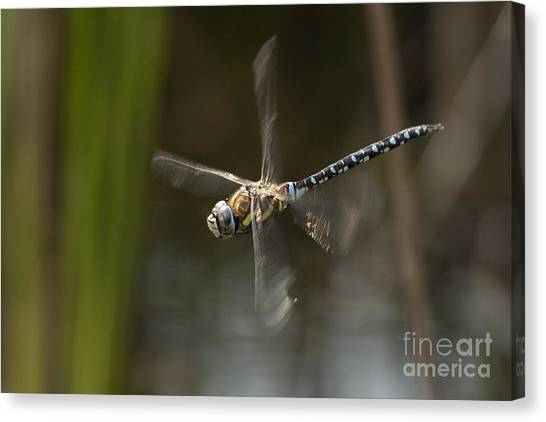 Migrant Hawker Dragonfly In Flight Canvas Print
