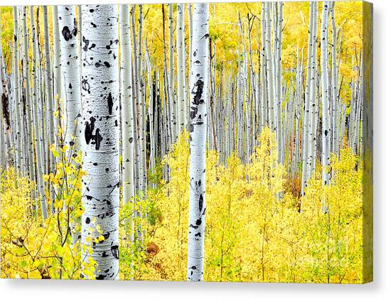 Miles Of Gold Canvas Print