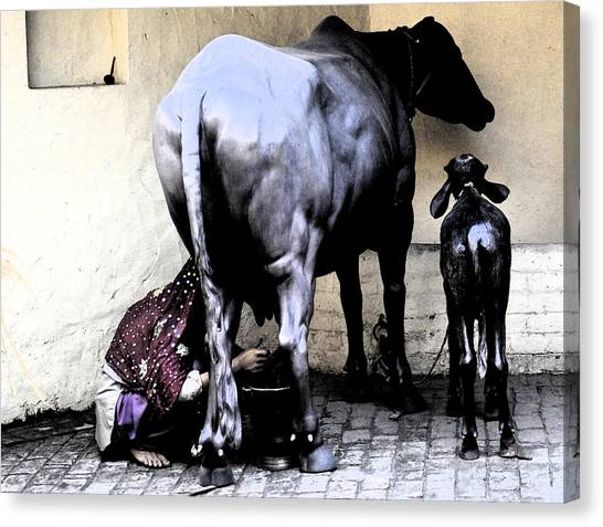 Milking The Cow Canvas Print by Bliss Of Art