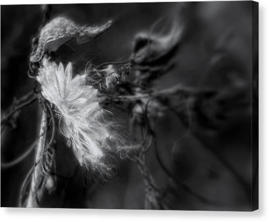 Milkweed Canvas Print