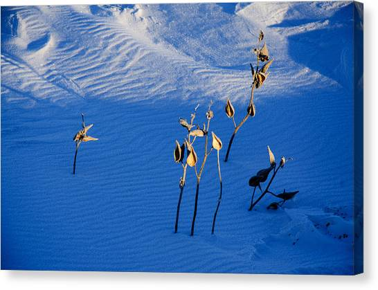 Milkweeds In The Snow Canvas Print by Dan  Meylor