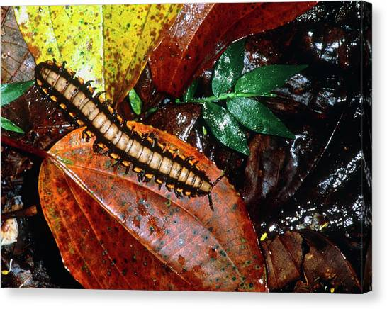 Millipedes Canvas Print - Millipede by William Ervin/science Photo Library