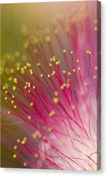 Mimosa Blossom 3 Canvas Print