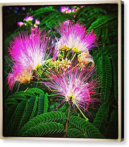 Mimosa Canvas Print - Mimosa Blossoms by Paul Cutright