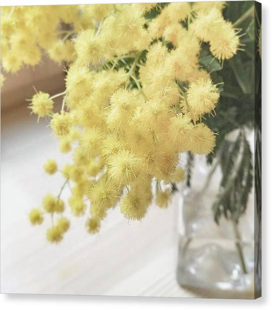 Mimosa Canvas Print - #mimosa #flowers #beautiful #yellow by Anna Laine