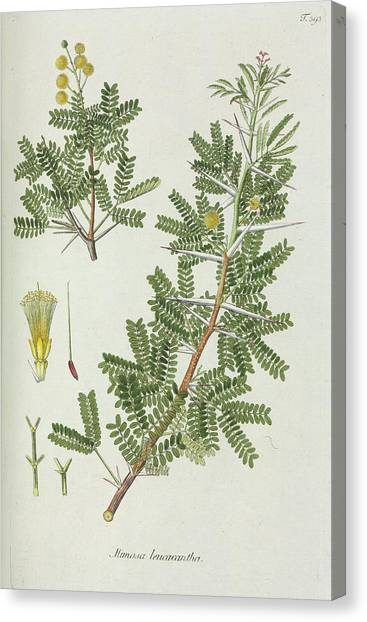 Mimosa Canvas Print - Mimosa (mimosa Leucacantha) by Natural History Museum, London/science Photo Library