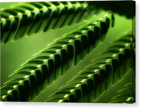 Mimosa Canvas Print - Mimosa Tree Leaf Abstract by Michael Eingle