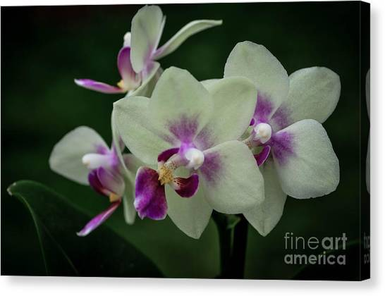 Minature Orchids Canvas Print by Carol A Commins
