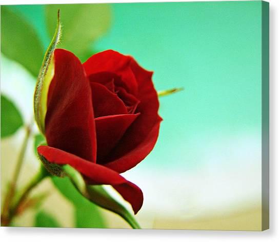 Miniature Rose Canvas Print