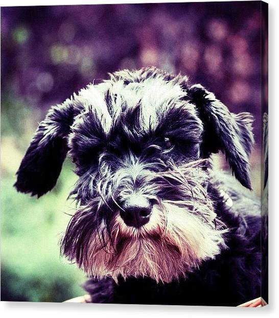 Schnauzers Canvas Print - Miniature Schnauzer. - | #animals #dogs by Manuela Kohl