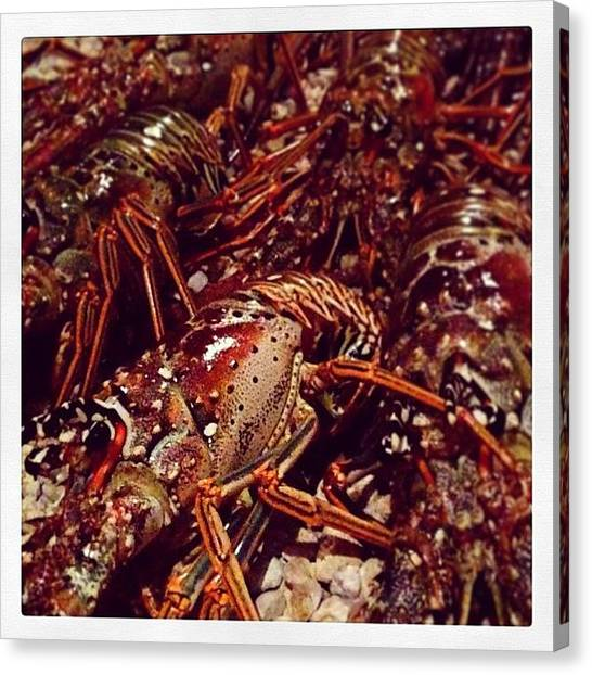 Lobster Canvas Print - #miniseason #lobster #keys #keyslife by Diane Ambrogio