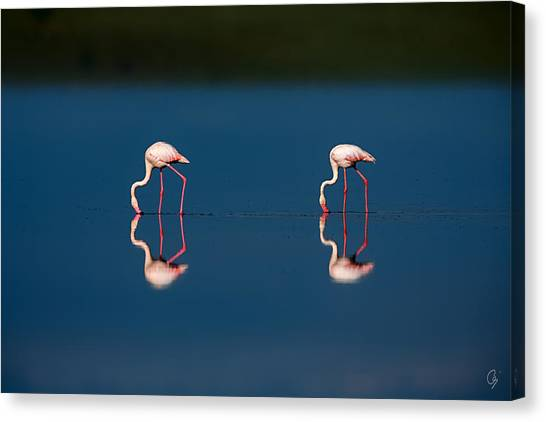 Mirrored Flamingos Canvas Print by Jeppsson Photography