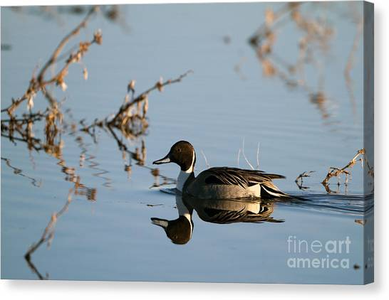 Northern Pintail Mirror Image Canvas Print