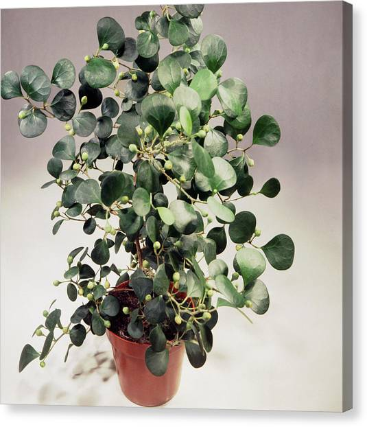 Mistletoe Canvas Print - Mistletoe Fig (ficus Deltoidea) by Science Photo Library