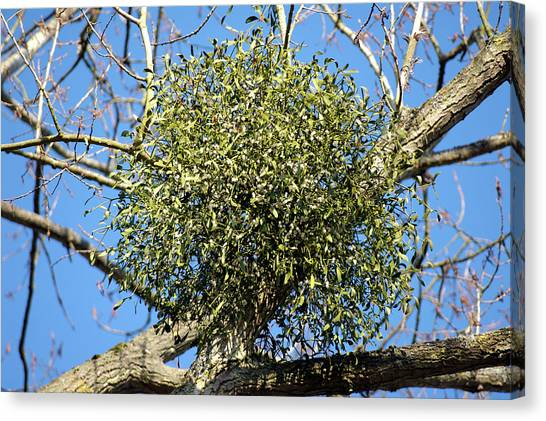 Mistletoe Canvas Print - Mistletoe (viscum Album) by Lea Paterson/science Photo Library