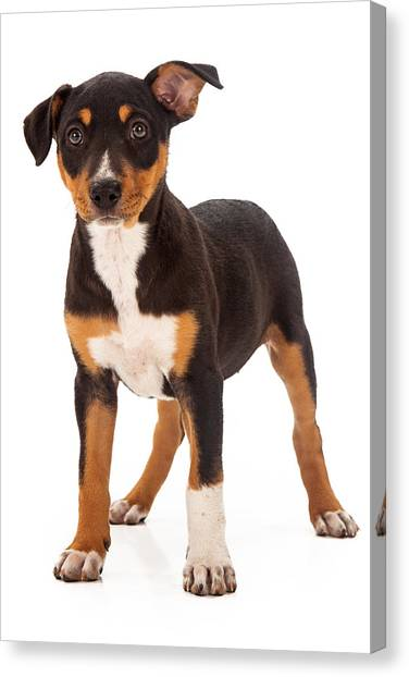 Rottweilers Canvas Print - Mixed Breed Puppy Ear Up by Susan Schmitz