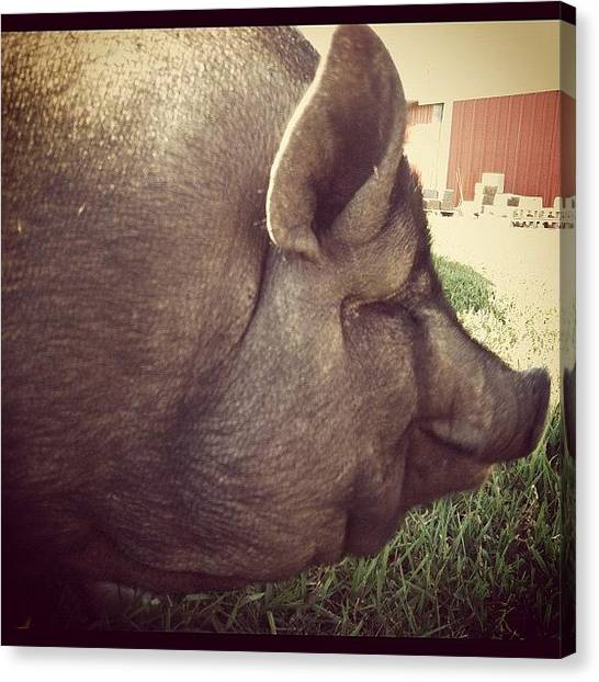 Hogs Canvas Print - Mmmm.. Bacon by Spencer Neuberger