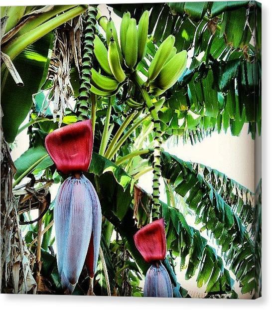 Banana Tree Canvas Print - Mmmmm Bananas! #igersusa #igersstpete by Erik Hogan