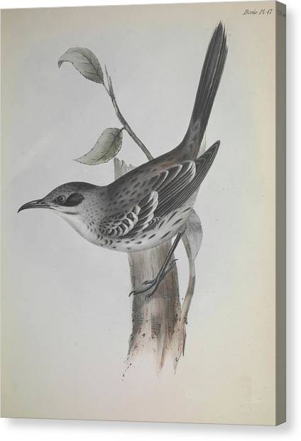 Mockingbirds Canvas Print - Mockingbird by Natural History Museum, London/science Photo Library