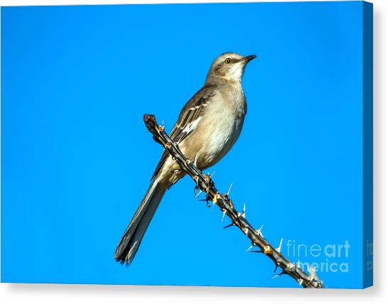 Mockingbirds Canvas Print - Mockingbird by Robert Bales