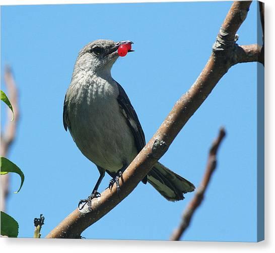 Mockingbird With Berries Canvas Print