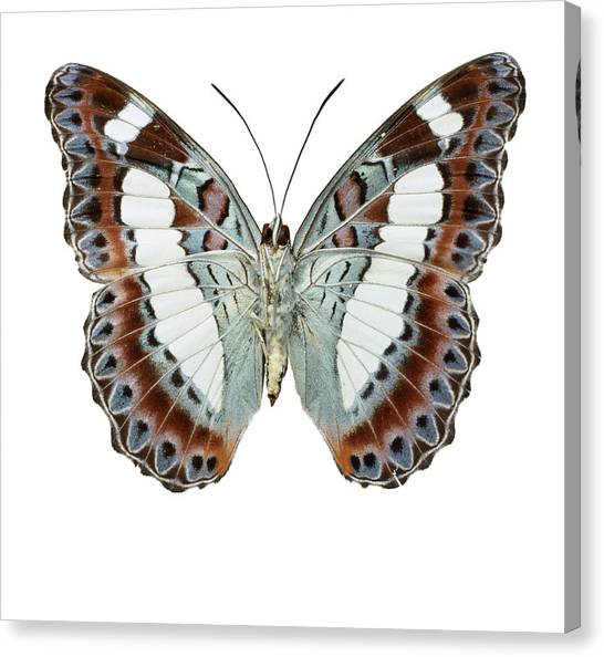 Moduza Nuydai Canvas Print by Natural History Museum, London