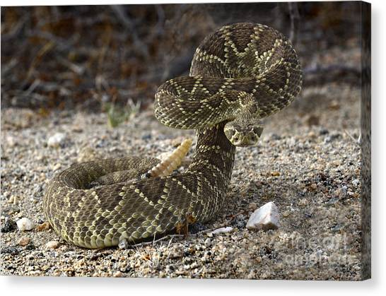 Poisonous Snakes Canvas Print - Mohave Green Rattlesnake Striking Position by Bob Christopher