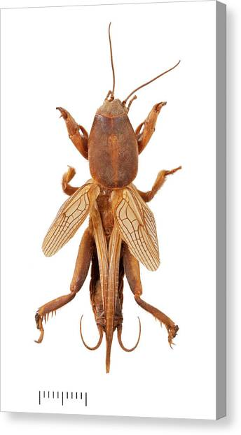 Pest Canvas Print - Mole Cricket by Natural History Museum, London