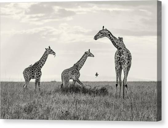 Mom And Twin Giraffes Canvas Print