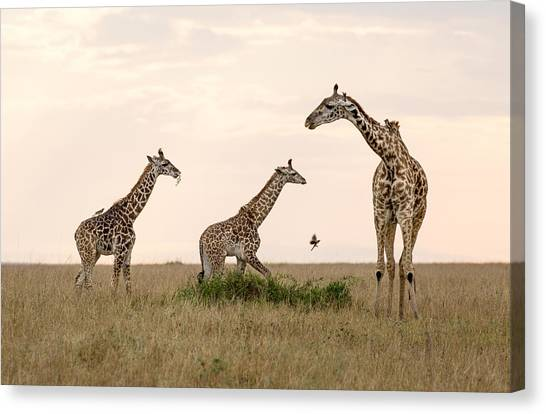 Mom Giraffe And Twins In Color Canvas Print