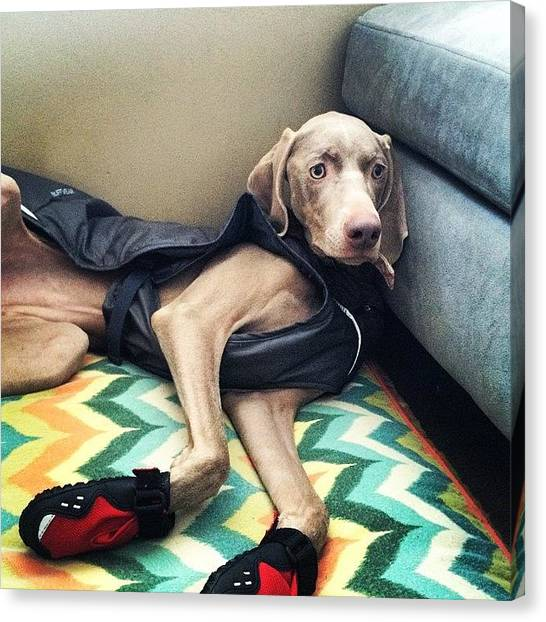 Weimaraners Canvas Print - Mom, I Don't Like My Jacket And Boots by Kristin Kroening