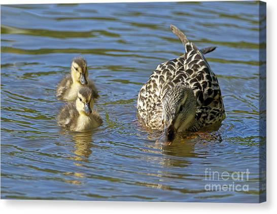 Momma Mallard And Her Ducklings Canvas Print by Sharon Talson